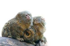 Paare des Pygmäenseidenäffchens Stockbilder