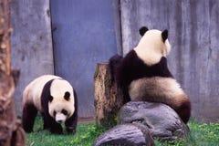 Paare des riesigen Pandas Lizenzfreies Stockfoto