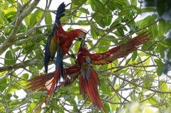 Paare des Scharlachrots der Keilschwanzsittich-- Aronstäbe Macao - Nationalpark Corcovado, Costa Rica stockfotos