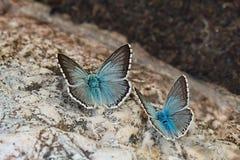 Paare des Schmetterlinges Chalkhill-Blaus (Polyommatus-coridon) Lizenzfreie Stockfotos