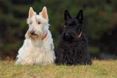 Paare des Schwarzweiss (wheaten) schottischen Terriers, sitzend auf Rasen des grünen Grases Stockfotografie