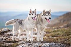 Paare des sibirischen Huskys stockbild