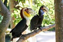 Paare des Stabes-pouched wanden Hornbills in der Natur Lizenzfreie Stockbilder