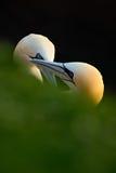 Paare des Vogels Vogel-Liebe Nord-Gannet-, Sulabassana, Detailhauptporträt mit Abendsonne und dunkles Meer im Hintergrund, Galan Lizenzfreies Stockbild