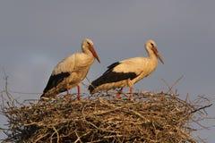 Paare des weißen Storchs Lizenzfreies Stockbild