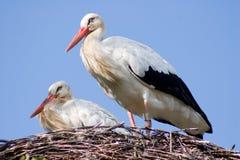 Paare des weißen Storchs an ihrem Nest lizenzfreies stockfoto