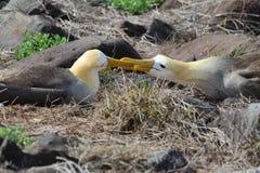 Paare des wellenartig bewegten Albatros (Phoebastria-irrorata) Stockfotografie
