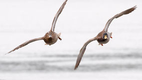 Paare des Wildentefliegens Lizenzfreies Stockfoto