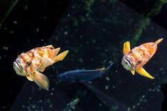 Paare des zitronengelben Klippenbarschs - fischen Sie von der Nordostregion von Pazifischem Ozean Lizenzfreies Stockfoto
