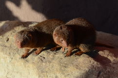 Paare des zwergartigen Mungos stockfotos