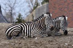 Paare Ebenen-Zebras stockfotos