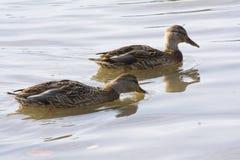 Paare Enten Stockfoto