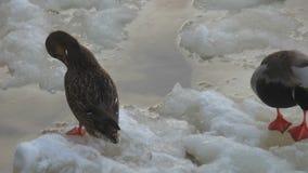 Paare Enten, die auf Wasser mit Eisansicht säubern stock video