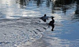 Paare Enten, die im Bighorn River nahe Thermopolis Wyoming schwimmen Stockbilder