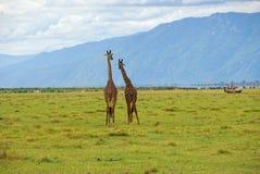 Paare Giraffen stockbild
