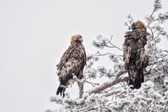Paare Golden Eagles Lizenzfreies Stockfoto