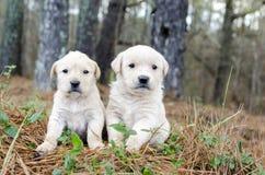 Paare golden retriever-Welpen Lizenzfreie Stockfotografie