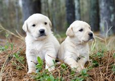 Paare golden retriever-Welpen Stockfotografie