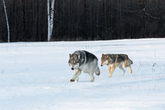 Paare Grey Wolves Canis-Lupus laufen zusammen in Feld Lizenzfreie Stockfotos