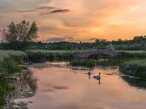 Paare Höckerschwäne mit Cygnets durch eine Brücke bei Sonnenuntergang stockbilder