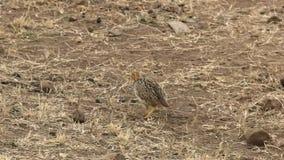 Paare Harlekinwachteln in Masaimara-Reserve, Kenia stock footage
