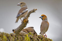 Paare Hawfinch u. x28; Coccothraustes coccothraustes& x29; Stockfotografie