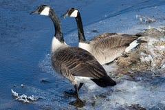 Paare Kanada-Gänse Lizenzfreie Stockbilder