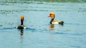 Paare Kolbenente-netta rufina in Folge schwimmend auf Chilka See-Vogelschutzgebiet, Odisha, Indien lizenzfreie stockfotos