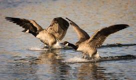 Paare Landungs-Gänse Lizenzfreie Stockfotos