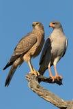 Paare Latten-Singen goshakws, die auf einem Baum hocken Stockfoto