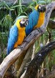 Paare Macaws Lizenzfreies Stockfoto