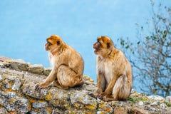 Paare Makaken in einer Reserve auf der Gibraltar-Halbinsel Stockbild