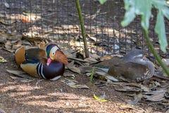 Paare Mandarinen-Enten in der Gefangenschaft stockfoto