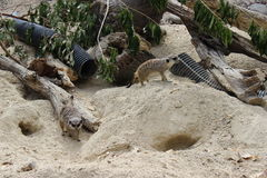 Paare meerkats Stockbild