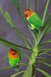 Paare Papageien Stockfoto