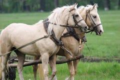 Paare Pferde Stockfotografie