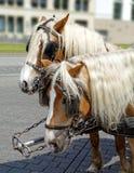 Paare Pferde im Geschirr Lizenzfreies Stockfoto