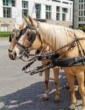Paare Pferde im Geschirr stockbilder
