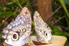 Paare Riese Caligo-oileus, der riesige Eulenschmetterling Oileus, ama stockbild