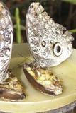 Paare Riese Caligo-oileus, der riesige Eulenschmetterling Oileus, ama lizenzfreie stockfotografie