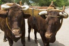 Paare Rinder mit Joch Lizenzfreies Stockbild