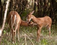 Paare Rotwild auf dem Gebiet Stockfoto