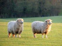 Paare Schafe auf dem Gebiet an Bullsland-Bauernhof, Chorleywood stockfotografie