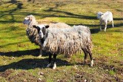 Paare Schafe mit Lamm Stockbilder