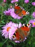 Paare Schmetterlinge des Pfauauges Lizenzfreie Stockfotografie
