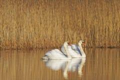 Paare Schwäne, die im warmen hellen nahen schwimmen stockfoto
