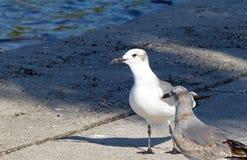 Paare Seemöwen auf einem Uferdamm Lizenzfreie Stockfotos