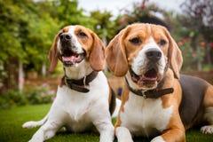 Paare Spürhunde, die auf Gras niederlegen Lizenzfreies Stockfoto