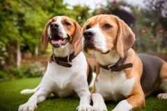 Paare Spürhunde, die auf Gras niederlegen Stockfotografie