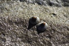 Paare Spotted Limpet-Shell-eoacmaea SP Auf einer Strand-Felsen-Oberfläche lizenzfreie stockfotografie